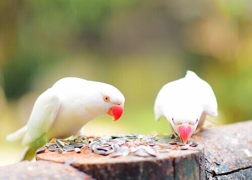 due parrocchetti bianchi beccano semi su una palma
