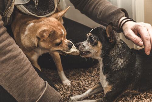 due piccoli cagnolini litigano per gelosia