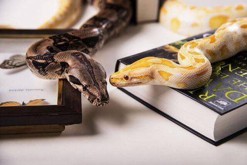 due serpenti insieme su una scrivania