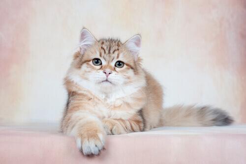 Gatto siberiano seduto