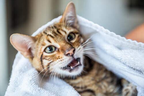 gatto a bocca aperta
