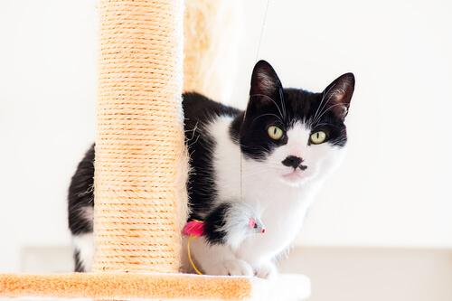 gatto bianco e nero con tiragraffi