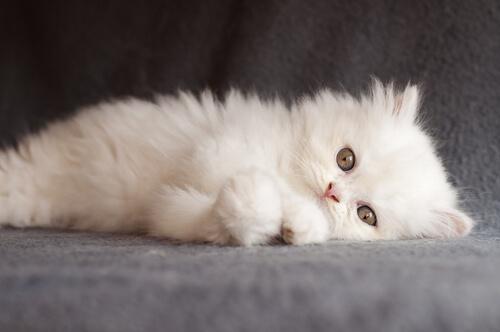 gattino bianco sdraiato