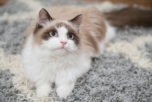gatto sdraiato sul tappeto
