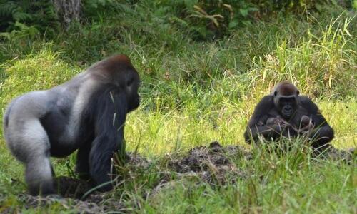 Gorilla e cuccioli