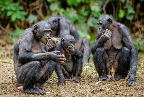Gruppo di bonobo
