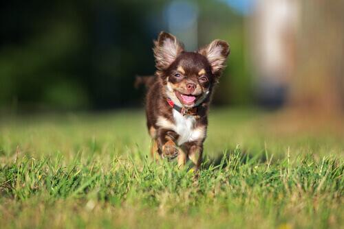 Harley, il chihuahua reduce da un allevamento, salva 500 cani