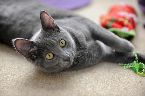 gatto tailandese Korat sdraiato