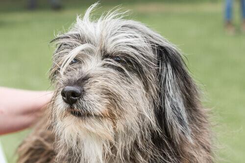 Il cane da pastore dei Pirenei a pelo lungo