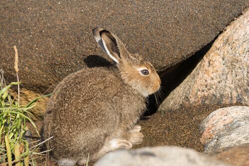 Scopriamo perché la lepre è a rischio di estinzione