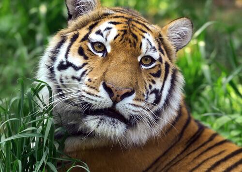 Testa della tigre del Bengala