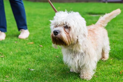 Dandie Dinmont Terrier al guinzaglio sul prato