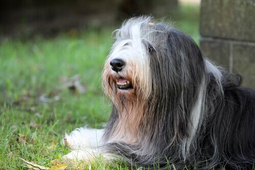 Bearded collie, un cane intelligente e vivace