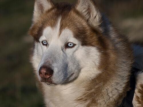 Occhio secco nei cani: cause, sintomi e trattamento