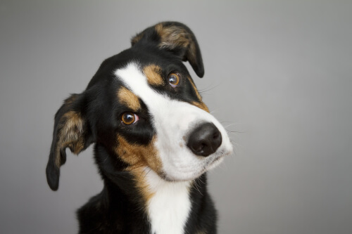 Cane a rischio di otite