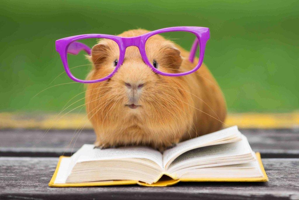 porcellino d'India con gli occhiali seduto sopra libro
