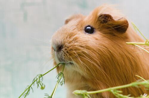 porcellino d'India mentre mangia verdure