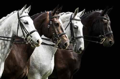 quattro cavalli da carrozza con la criniera raccolta