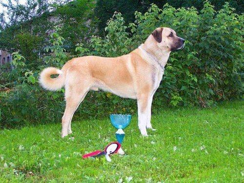 Conosciamo insieme il cane di razza Kangal