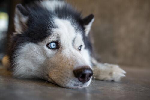 husky seduto sul pavimento