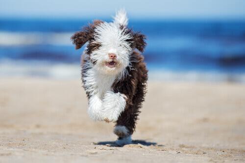 Consigli per spazzolare un cane d'acqua