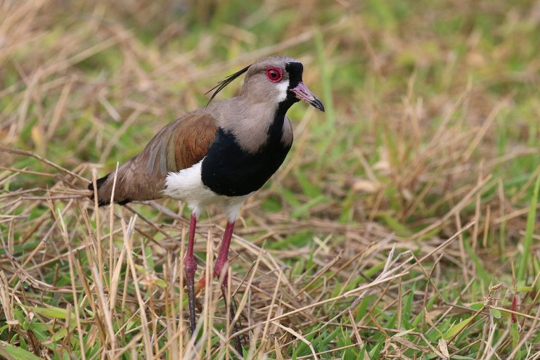 Conosciamo il Tero, un piccolo uccello sudamericano
