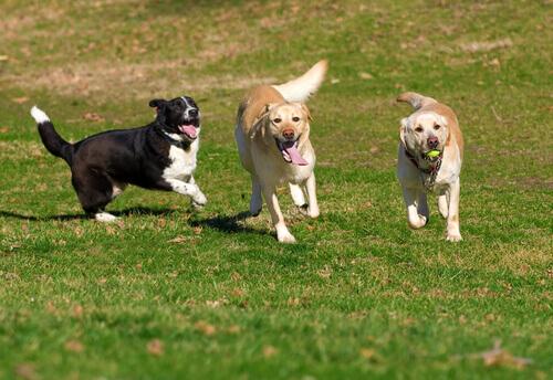 tre cani giocano assieme all'aria aperta
