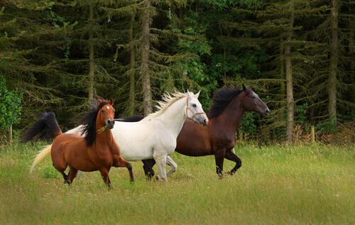tre cavalli corrono nel bosco