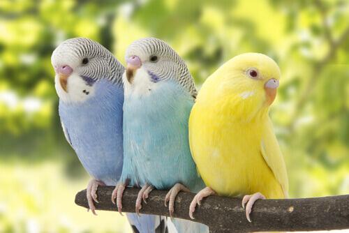 tre parrocchetti colorati riposano su un ramo
