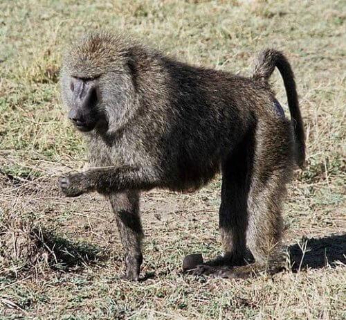 Babbuino adulto con zampa sollevata