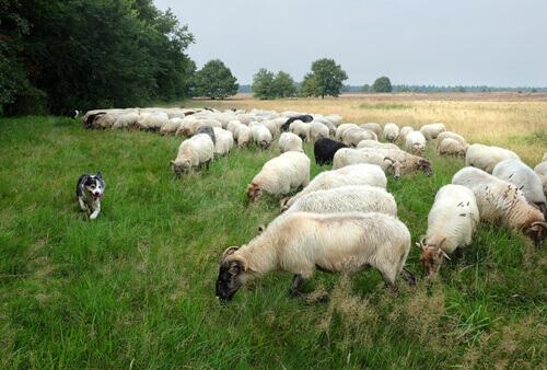 un Carea Leonés accompagna delle pecore al pascolo