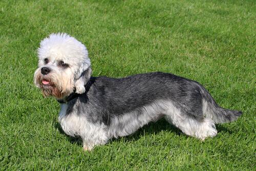 Dandie Dinmont Terrier, un cane leale e coraggioso
