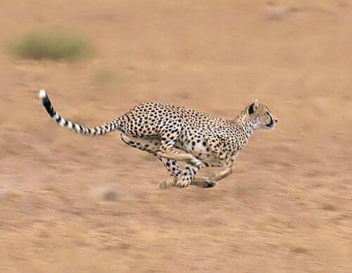 Ghepardo: caratteristiche, habitat e comportamento