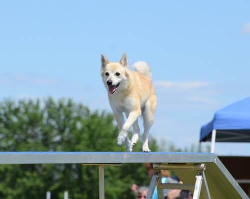 Tutto sul Norsk buhund, il cane dei vichinghi