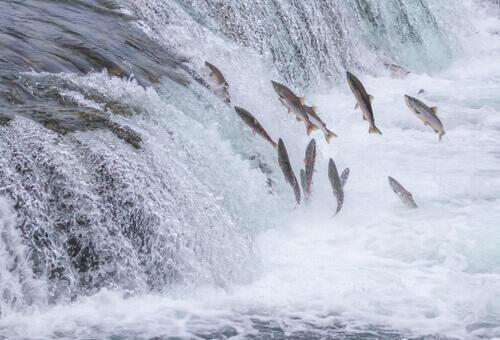 Il lungo viaggio del salmone, una corsa controcorrente