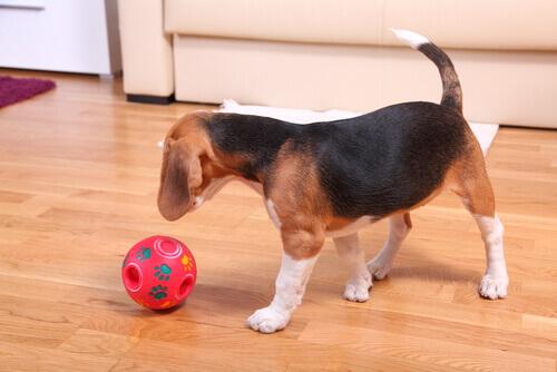 Beagle gioca con la palla sul parquet