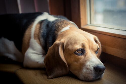 Come gestire il dolore nei cani con cancro