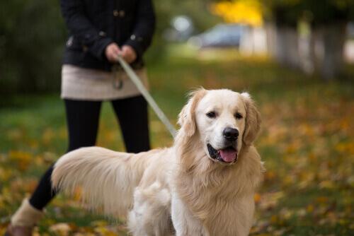 golden retriever tra razze di cani del regno unito