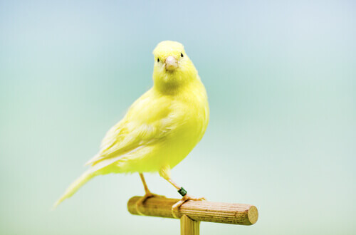 un bell'esemplare di canarino sul trespolo della sua gabbia