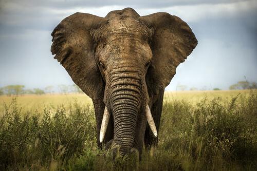 un bell'esemplare di elefante africano di fronte