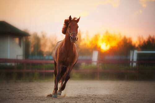 cavallo baio corre al tramonto