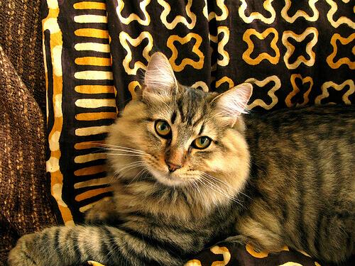 Bobtail americano su un divano