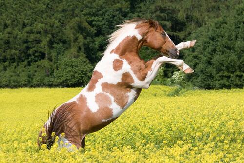 cavallo Paint impennato in campo di fiori gialli