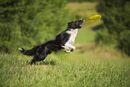 un border collie mentre afferra al volo un frisbee con la bocca