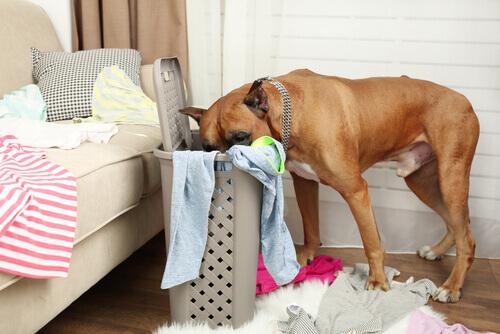 un boxer fruga nel cesto dei vestiti sporchi