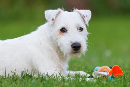 L'insufficienza mitralica nei cani: cause, sintomi e cure