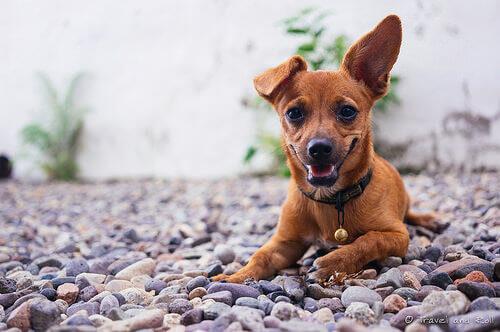 un cagnolino di color marrone steso sulla ghiaia