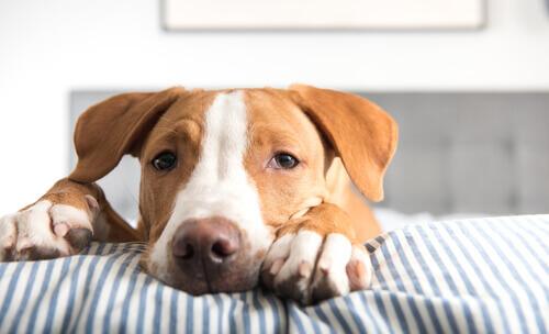La tenia nel cane: sintomi e trattamento