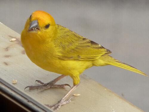 un canarino giallo adulto