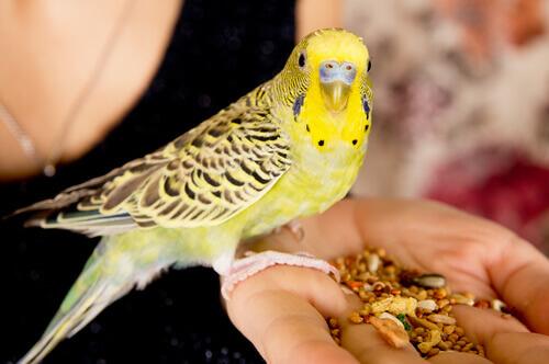 un canarino giallo mangia semi dalla mano del padrone